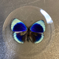 Butterfly in magnifying glass: Asterope Leprieuri- Naturalist magnyfier