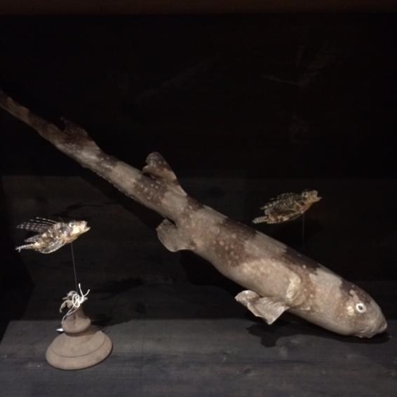 Requin spp naturalisé