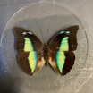 Butterfly in magnifying glass: Archaeoprepona demophon- Naturalist magnyfier