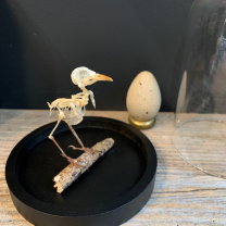 Bird skeleton: Prinia under glass bell