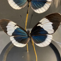 Little butterfly glass dome: heliconius sapho