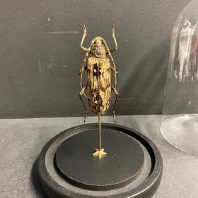 Neocerambyx gracilis: Longhorn beetle under a globe