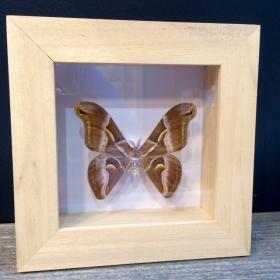 Cadre à caisson Entomologique - Samia Cynthia