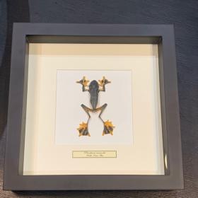 Tree frog - Rhacophorus reinwardtii - Flying frog under frame