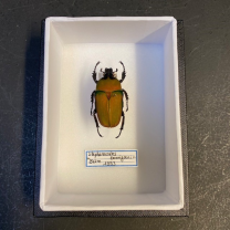 small Entomological Box - Stephanocrates bennigseni