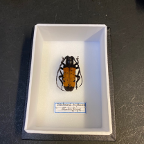 small Entomological Box - Diastocera trifasciata