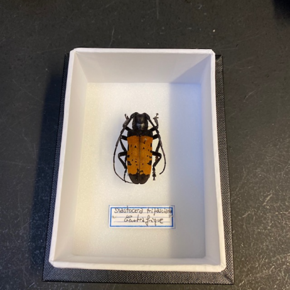 small Entomological Box - Diastocera trifasciata