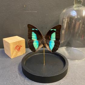 Petite cloche à papillon: Archaeoprepona Démophon