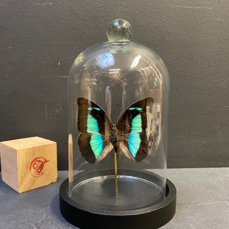 Little butterfly glass dome: Archaeoprepona Démophon