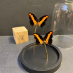 Little butterfly glass dome : Asterope Leprieuri