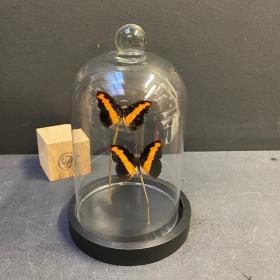 Petite cloche à papillon : Catonephele orites