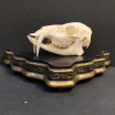Muntjac skull (deer with prominent canines)