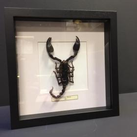 Cadre heterometrus spinifer - scorpion