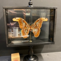 Standing glass box - Attacus Atlas