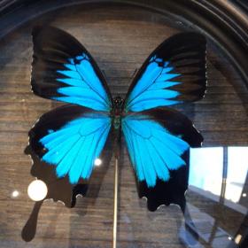 Reliquaire Papillon Ulysses