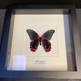 Cadre Entomologique - Papilio Rumanzovia