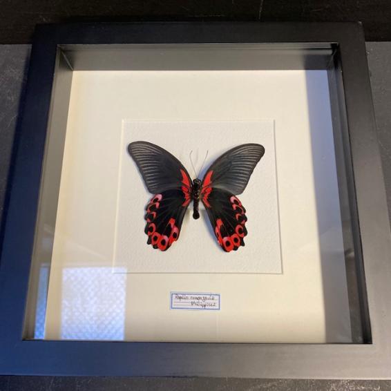 Entomological frame - Papilio Rumanzovia