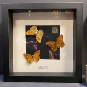 Cadre entomologique - Argynnis paphia