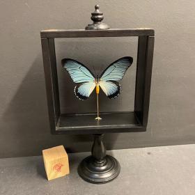 Boite Reliquaire sur pied - Papilio zalmoxis