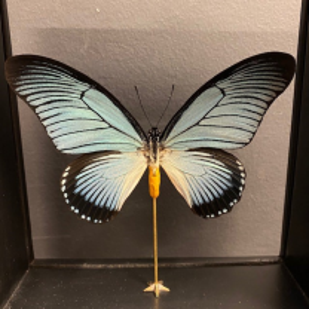 Standing glass box - Papilio zalmoxis