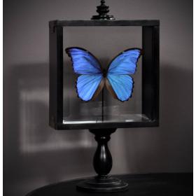 Standing glass box - Morpho Didius