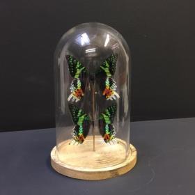 Cloche 2 papillons Urania Ripheus
