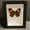 small Entomological Box - Adelpha Lara