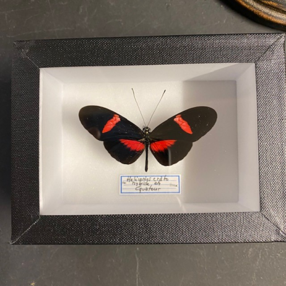 small Entomological Box - Heliconius Erato hybrid eh