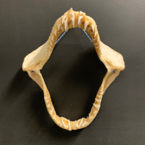 Jaw of Mako Shark - pre-convention CITES - 35cm
