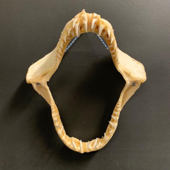Jaw of Mako Shark - pre-convention CITES - 35cm