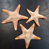 Rhinoceros Starfish