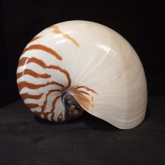 Little nautilus