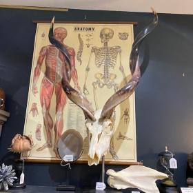 Polished kudu skull on pedestal