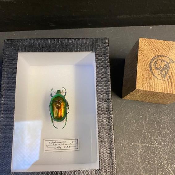 small Entomological Box - cetonischema aeruginosa