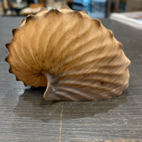 Argonauta hians - Argonaut (5/7cm)