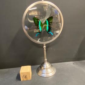 Naturalist Magnifier : Papilio blumei