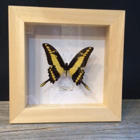 Cadre Entomologique à caisson Papilio Thoas
