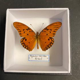 agraulis vanillae - Boite entomologique 10x10
