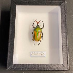 Entomological Box - eudicella gralli