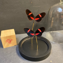 Butterfly under glass dome: Heliconius erato hybride eh