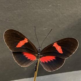Petite cloche à papillon: Heliconius erato hybride eh