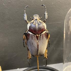Scarabée sous globe : Goliathus goliatus femelle sur étoile