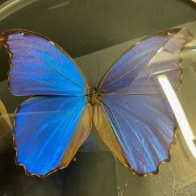 Naturalist Magnifier: Morpho Menelaus