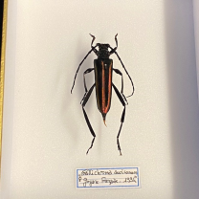Callichroma auricomum : Boite entomologique 12x15