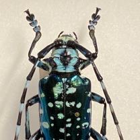 Entomological Box - Canoplophora sollii