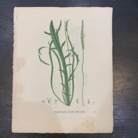 Old engraving -board of Natural History - XIXth century- Botanic