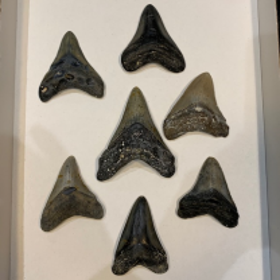 Fossilised tooth of Megalodon - Otodus megalodon - South Carolina - Miocene period