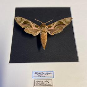 Entomologic Frame: Lime hawk-moth - Mimas tiliae