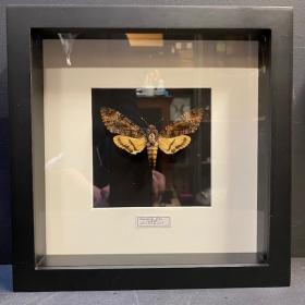 Entomological frame - Acherontia Styx - death's head hawkmoth