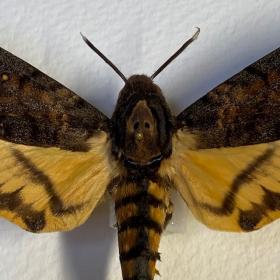 Cadre entomologique - Acherontia Styx - Sphinx tête de mort